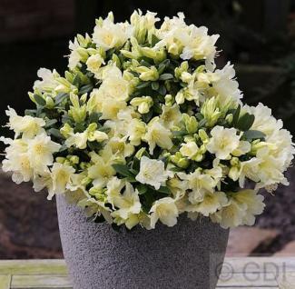 Zwerg Wild Alpenrose Patty Bee 15-20cm - Rhododendron keiskei - Vorschau