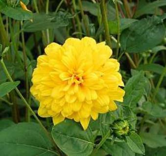 Sonnenblume Soleil d Or - Helianthus decpetalus - Vorschau