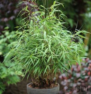 Gartenbambus Asian Wonder 40-60cm - Fargesia Scabrida - Vorschau