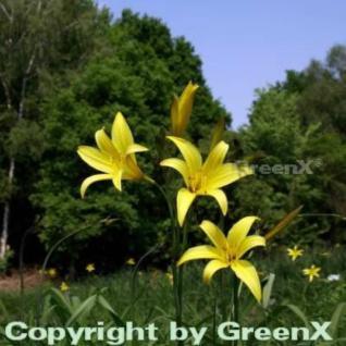 Kleine Taglilie - Hemerocallis minor - Vorschau