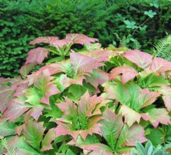 Gestieltblättriges Schaublatt - Rodgersia podophylla - Vorschau