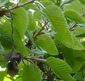 Koreanische Weißbuche 80-100cm - Carpinus turczaninovii - Vorschau