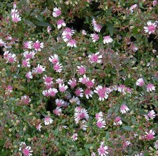 Waagerechte Herbst Aster Lady in Black - Aster lateriflorus - Vorschau