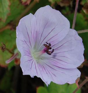 Storchenschnabel Lilac Ice - Geranium wallichianum - Vorschau