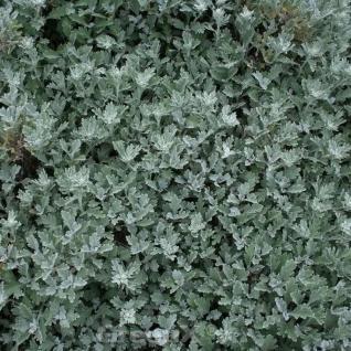 Gabelblatt - Artemisia stelleriana - Vorschau