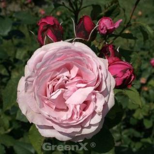 Gourmet Rose Dieter Müller® 30-60cm - Vorschau