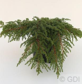 Grüner Kriechwacholder Green Carpet 40-50cm - Juniperus communis - Vorschau