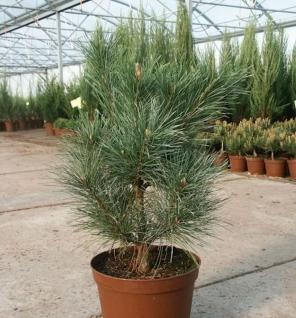 Westamerikanischen Weymouths Kiefer 60-80cm - Pinus monticola - Vorschau