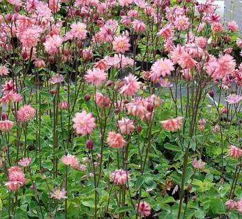 Akelei Rose Barlow - Aquilegia vulgaris - Vorschau