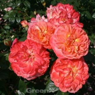 Märchenrose Queen of Hearts® 30-60cm - Vorschau