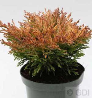 Teppich Wacholder Limeglow 15-20cm - Juniperus horizontalis - Vorschau