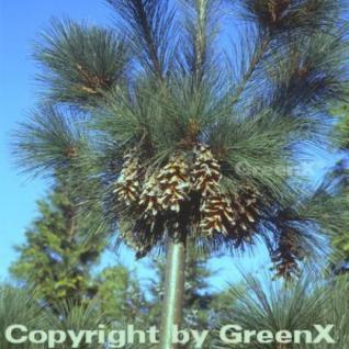 Schwerin Kiefer 40-60cm - Pinus schwerinii - Vorschau