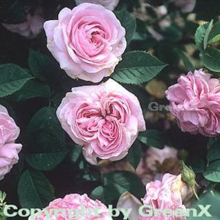 Historische Rose Königin von Dänemark 30-60cm - Vorschau