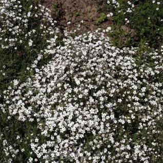 Teppich Schleierkraut Compacta Plena - Gypsophila repens - Vorschau