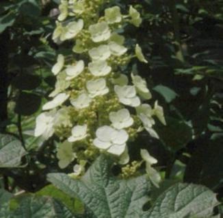 Eichenblättrige Hortensie Applause 40-60cm - Hydrangea quercifolia - Vorschau