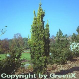 Gelbe Säuleneibe 60-80cm - Taxus baccata Fastigiata Aureomarginata - Vorschau