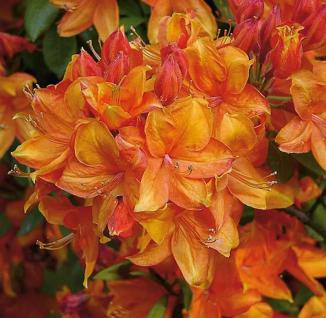 Azalee Golden Eagle 60-70cm - Rhododendron luteum - Alpenrose