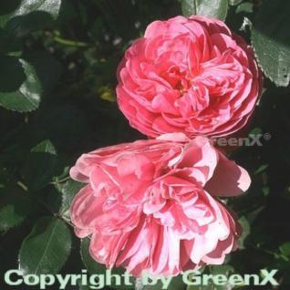 Hochstamm Rose Leonardo da Vinci® 60-80cm - Vorschau