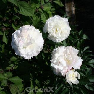 Edelpfingstrose Shirley Temple - Paeonia lactiflora - Vorschau