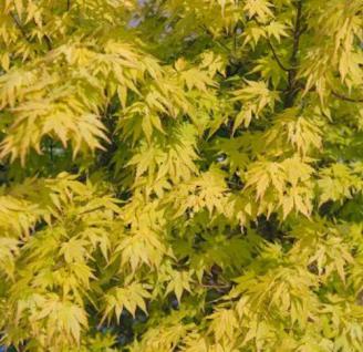 Fächerahorn Katsura 100-125cm - Acer palmatum - Vorschau