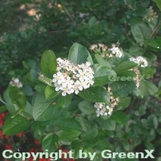 Apfelbeere 60-80cm - Aronia melanocarpa - Vorschau