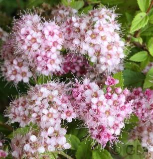 Rosa Zwerg Spiere Little Princess 20-30cm - Spiraea japonica - Vorschau