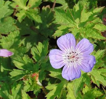 Storchenschnabel Buxtons Variety - Geranium wallichianum - Vorschau