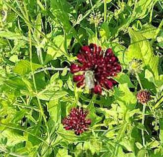 Witwenblume Chile Black - Scabiosa atropurpurea - Vorschau