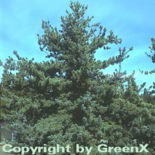 Blaue Mädchenkiefer Glauca 80-100cm - Pinus parviflora - Vorschau
