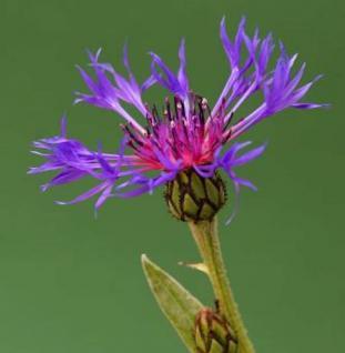 Bergflockenblume Violetta - Centaurea montana - Vorschau