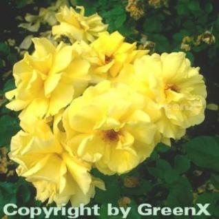 Hochstamm Rose Friesia® 80-100cm - Vorschau