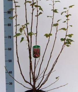 Blut Zierjohannisbeere Atrorubens 80-100cm - Ribes sanguineum - Vorschau