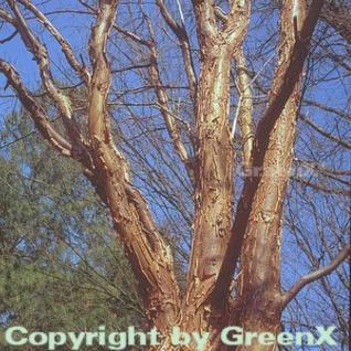 Zimtahorn 60-80cm - Acer griseum - Vorschau