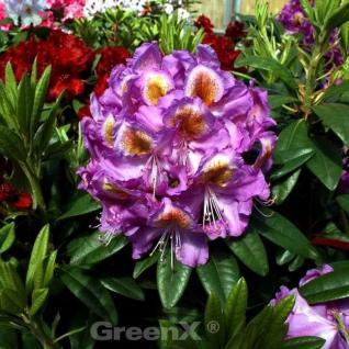 Großblumige Rhododendron Edwin O Weber 30-40cm - Alpenrose - Vorschau