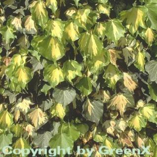 Gelbbunter Efeu Goldheart 60-80cm - Hedera helix - Vorschau