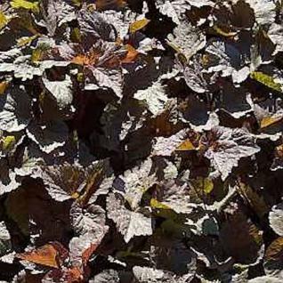 Rotlaubige Japanische Petersilie - Cryptotaenia japonica - Vorschau
