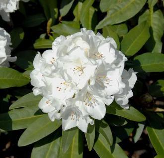 Großblumige Rhododendron Helene Schiffner 40-50cm - Alpenrose - Vorschau