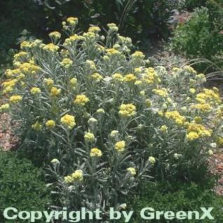 Garten Strohblume Schwefellicht - Helichrysum thianshanicum - Vorschau