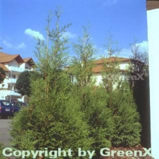 Riesenlebensbaum Excelsa 100-125cm - Thuja plicata - Vorschau