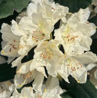 Großblumige Rhododendron Boule de Neige 30-40cm - Alpenrose - Vorschau