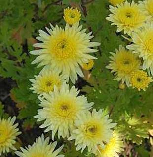 Winteraster Lichtkuppel - Chrysanthemum Indicum - Vorschau