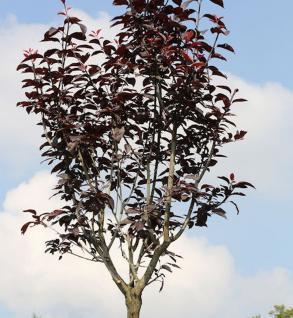 Hochstamm Blutpflaume 100-125cm - Prunus cerasifera - Vorschau