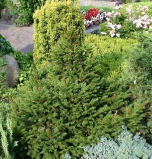 Zwergfichte Wills Zwerg 40-50cm - Picea abies - Vorschau
