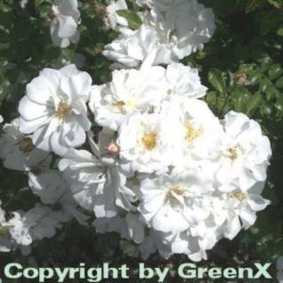 Hochstamm Rose Diamant 60-80cm - Vorschau