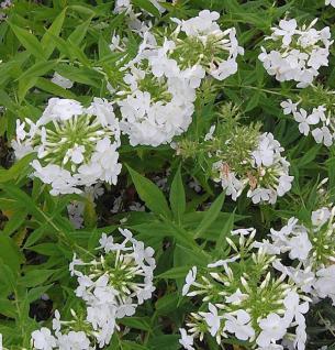 Hohe Flammenblume Hochgesang - Phlox paniculata - Vorschau