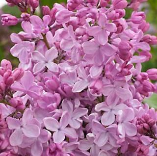 Edelflieder Esther Staley - Kircher-Collection 30-40cm - Syringa hyacinthiflora