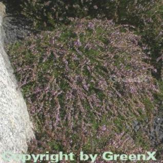 10x Besenheide Heidezwerg - Calluna vulgaris - Vorschau