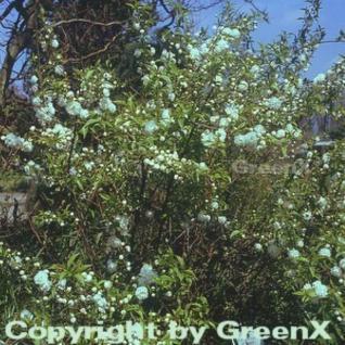 Chinesische Zwergkirsche 60-80cm - Prunus glandulosa - Vorschau