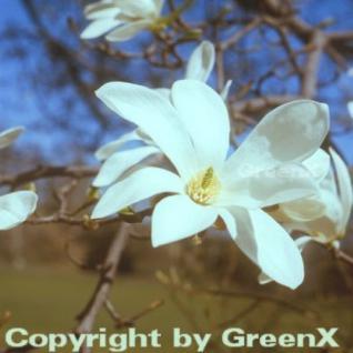 Kobushi Magnolie 80-100cm - Magnolia kobus - Vorschau