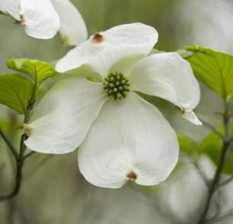 Japanischer Blumenhartriegel Venus® 80-100cm - Cornus kousa - Vorschau